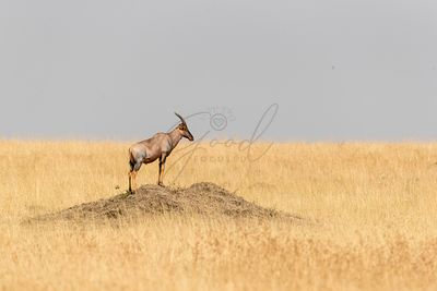 Topi standing on mound in Mara Triangle