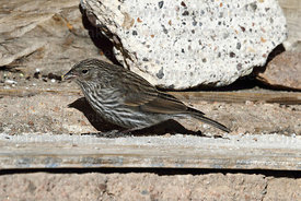 Adult female Plumbeous sierra finch (Phrygilus unicolor)