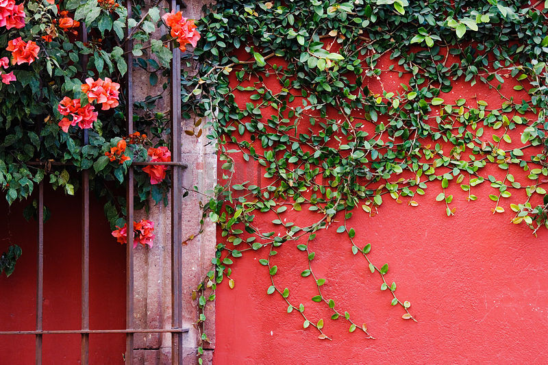 Bougainvillea and creeper against red wall