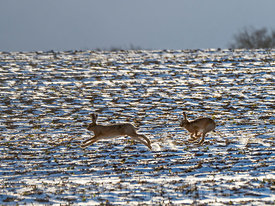 27th February 2018 Two Brown Hares Lepus europeaus chase each other across a snow covered field in winter sunshine at Holkham North Norfolk