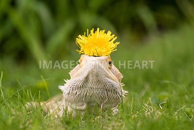 Bearded Dragon with Dandelion Crown
