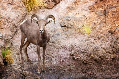 Big Horn Sheep in Arizona Looking at Camera