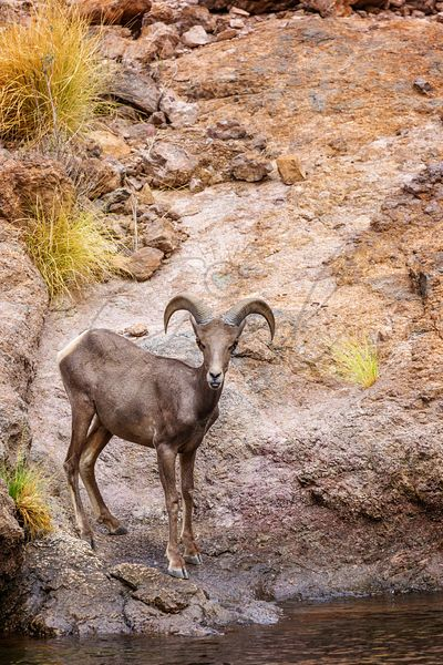 Bighorn Sheep on Arizona Canyon Lake