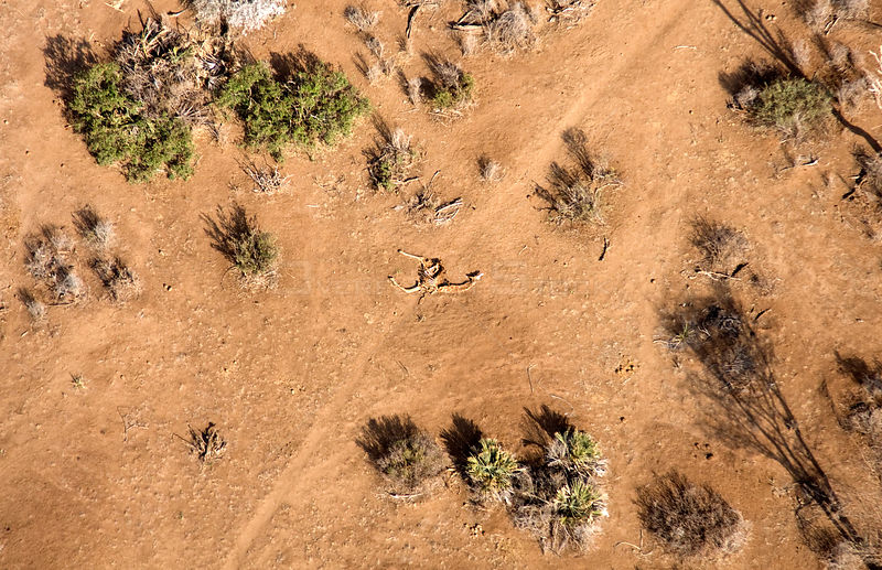 Aerial of dead giraffe most likely the result of the worst drought (2008-2009) in more than a decade in Northern Kenya. August 2009.