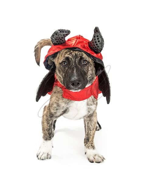Dog in Devil Halloween Costume