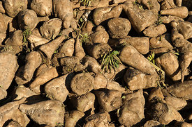 Harvested Sugar Beet Norfolk December