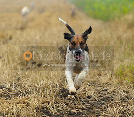 Cottesmore hounds run to camera - The Cottesmore Hunt at Tongue End 28/8