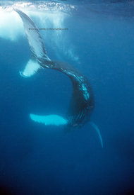 Silverbanks, Dominican Republic, underwater, humpback whale diving (megaptera novaeangliae)
