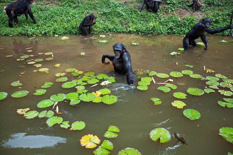 Bonobo (Pan paniscus) group foraging in a lake amongst water lilies,  Lola Ya Bonobo Sanctuary, Democratic Republic of Congo. October.