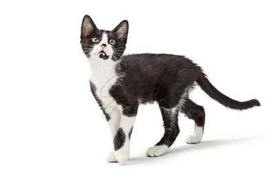 Cute Curious Black and White Kitten Walking