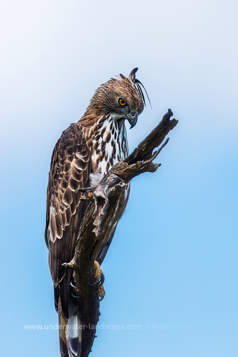 Hawk - Eagle in Sri Lanka