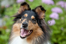 Beautiful-Collie-Puppy-Face-Purple-Flowers