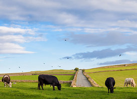 Cattle grazing on Longstone Moor