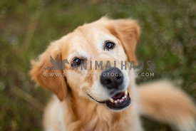 Loveable happy golden retriever