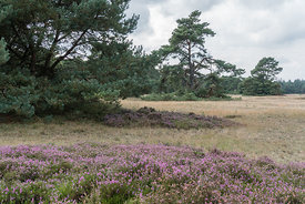 Hoge Veluwe landscape with pines and flowering heather