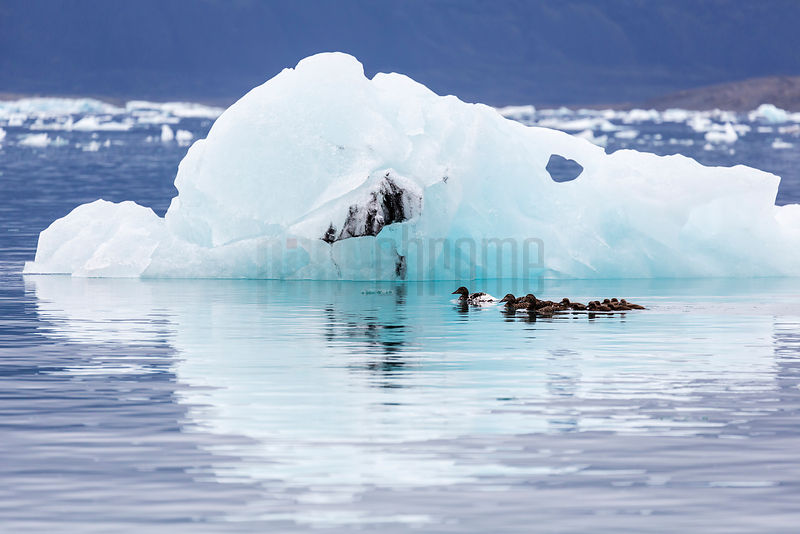 Family of Eider Ducks in the Galacial Lagoon
