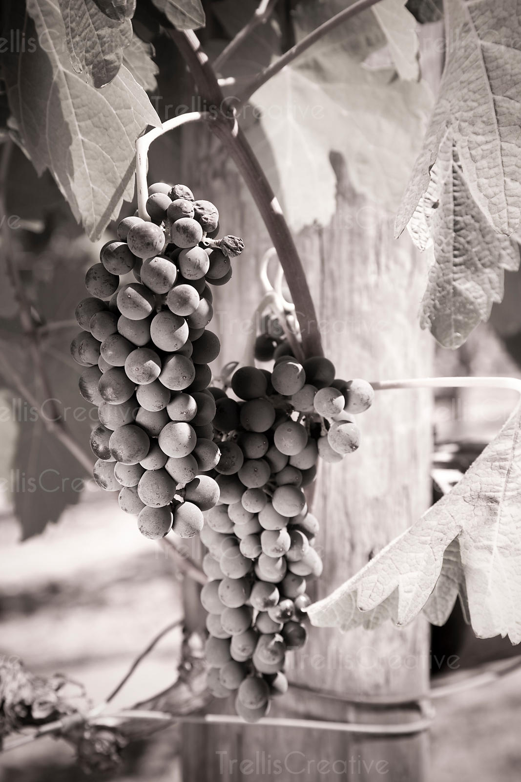 Grape clusters photos