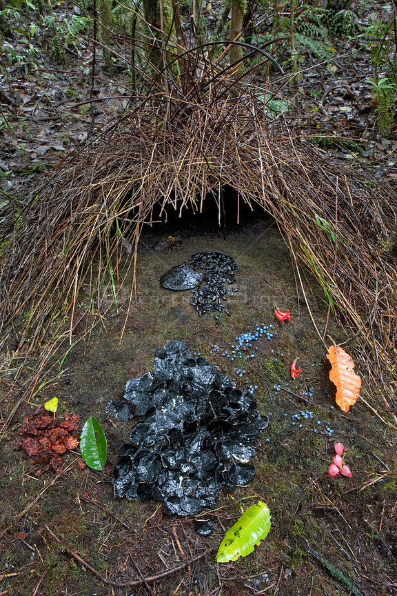 Bower of Vogelkop Bowerbird (Amblyornis inornatus) decorated with various types of leafs, beetle wing covers, black and brown fungi, red flowers and blue berries, Arfak Mountains, West Papua, Indonesia.
