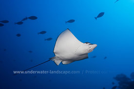Eagle ray - Underwater Picture