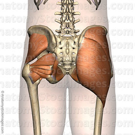 hip-muscles-musculus-gluteal-region-gluteus-maximus-medius-minimus-buttocks-back-skin