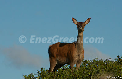 Deer  Islay island Scotland