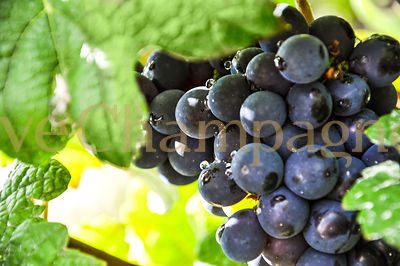 VINEYARD photos