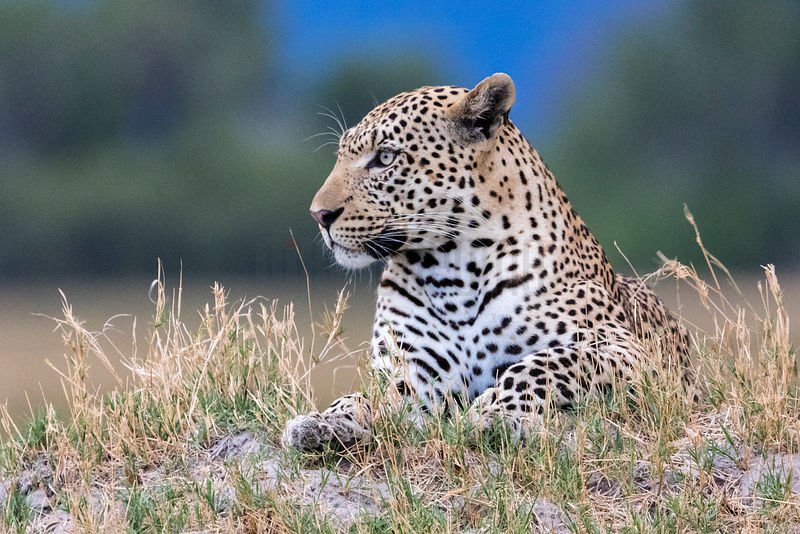 Male Leopard Sitting on Termite Mound