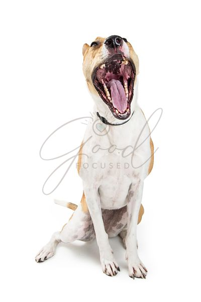 Funny Dog Mouth Wide Open Yawning