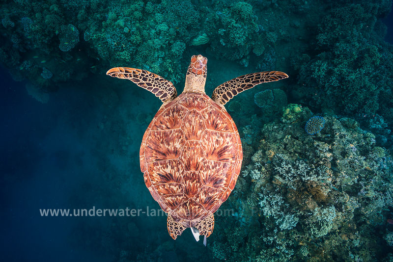 Tortue Marine - Flying over the reef