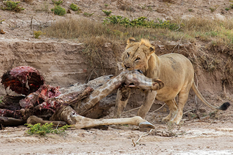 Male Lion Dragging Giraffe Carcass