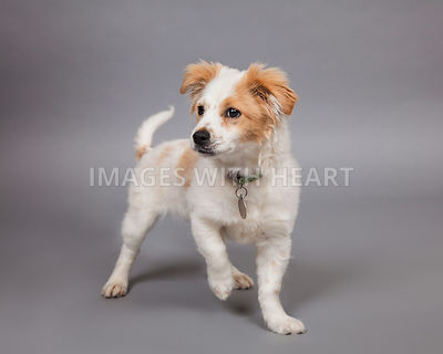 Puppy full body on gray background