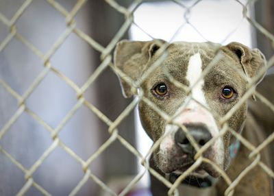 Homeless Pit Bull Dog in Cage at Shelter