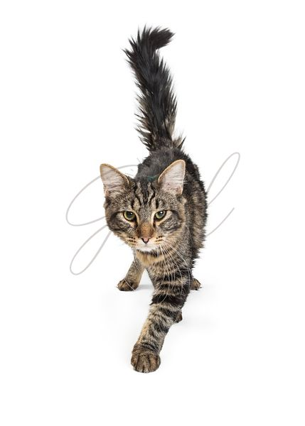 Black and Gray Tabby Cat Walking