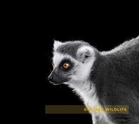 Ring-Tailed Lemur