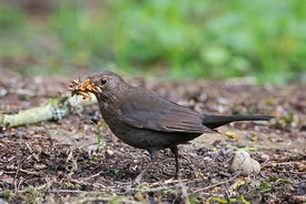 Blackbird Turdus merula female collecting mealworms for young at nest in garden Norfolk