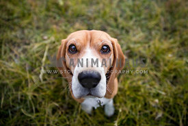 Beagle sitting on grass