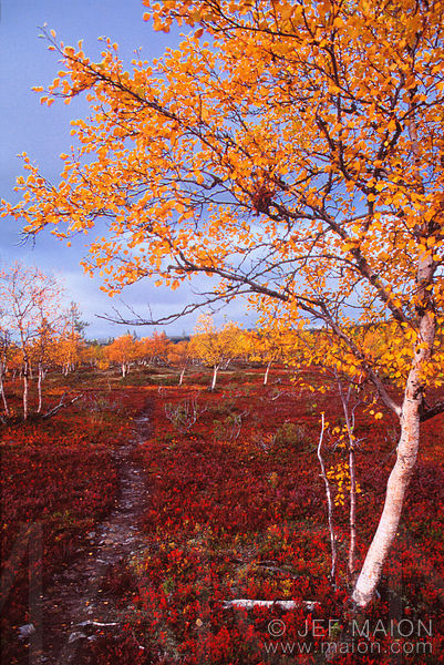 Mountain birches with yellow leaves and red heath