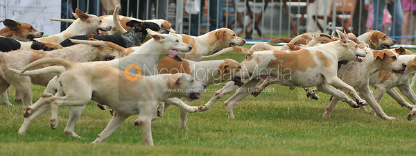 The Cottesmore Hounds at full pelt.