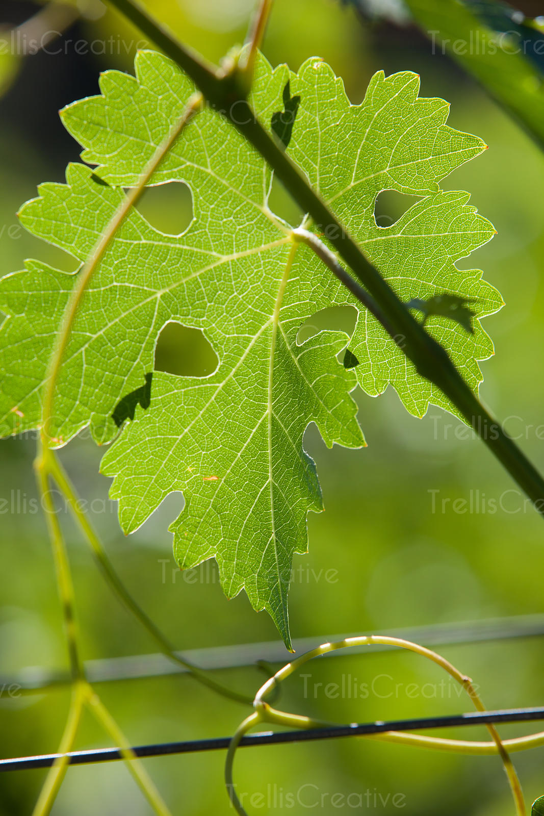 Close-up of a grape leaf on the vine.
