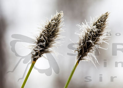 Hare's-tail Cottongrass