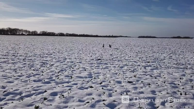 Aerial view of a herd of deers, brockets and hinds running on snow, filmed by drone, Coulommiers, France
