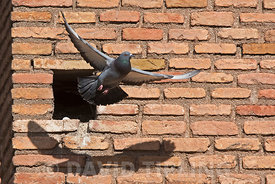 Feral Pigeon Columba livia domestica at nest hole in wall in cathedral in Alfaro Spain