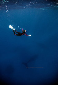 Silverbanks, Dominican Republic, underwater, humpback whale and free diver (megaptera novaeangliae)