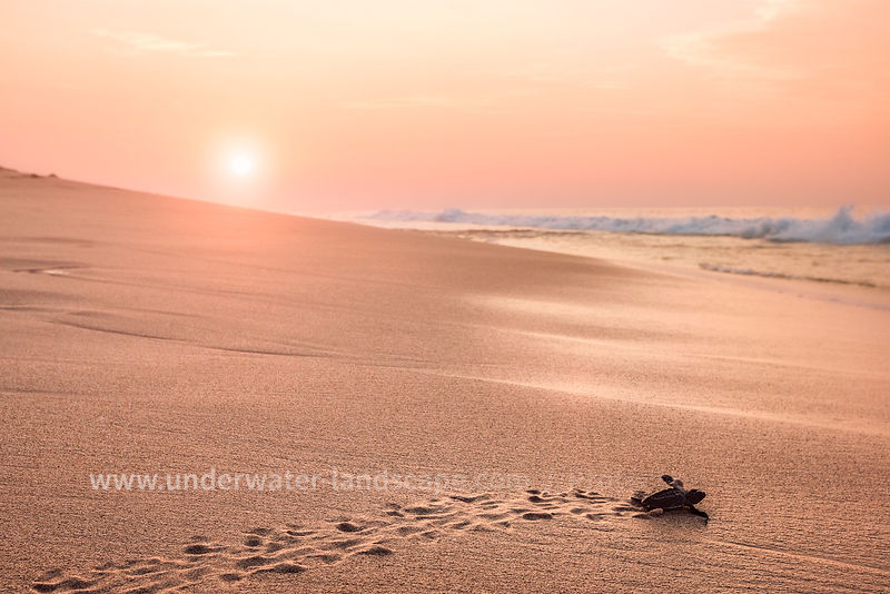 Turtle back to the ocean - Sunset in Sri lanka