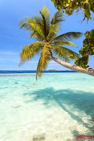Palm tree leaning over turquoise sea, Maldives