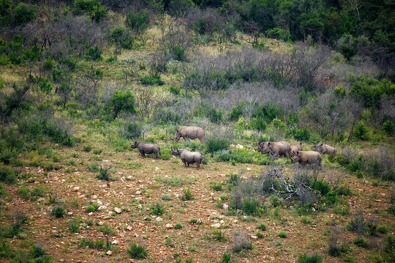 Black rhino (Diceros bicornis) two on the left, and White rhino (Cerathotherium simum)  six on the right, Itala Game Reserve, KwaZulu-Natal, South Africa.