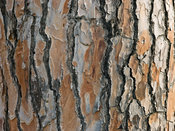 Greece, Close-up of bark of pine tree
