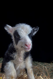 Lamb Portrait #8