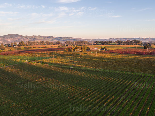 Aerial view of autumn in vineyards with the changing colors