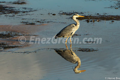 Grey Heron in Islay island